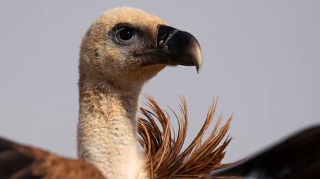 A griffon vulture (FILE PHOTO) © REUTERS/Amir Cohen