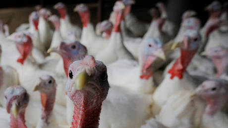 13,000 turkeys to be killed on Italian farm after second outbreak of highly contagious H5N1 bird flu
