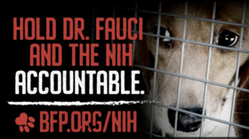 Fauci hammered by Beagle Freedom Project, threatened with lawsuit over gruesome dog experiments