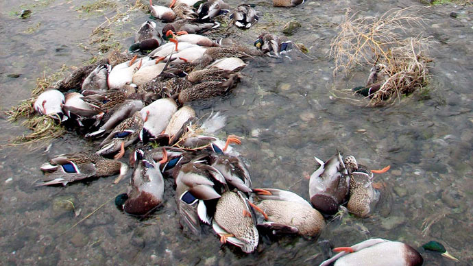 1,000 dead ducks found in Chinese river as pig clean-up reaches 16,000