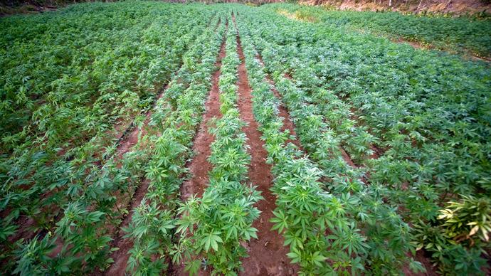 View of a marijuana field (AFP Photo / Alfredo Estrella)