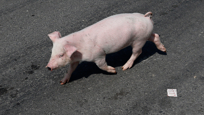 British 'Pig 26' in drive to create disease-resistant GM animals