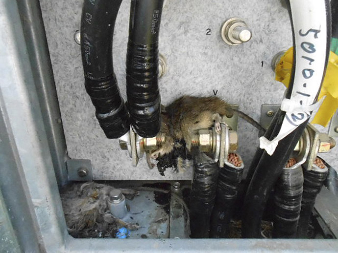 This handout picture, taken by Tokyo Electric Power Co (TEPCO) on April 22, 2013 shows a pair of dead rats found in a box of a transformer for the cooling system of the unit 2 reactor's spect pool at the crippled TEPCO's Fukushima Dai-ichi nuclear power plant at Okuma town in Fukushima prefecture, northern Japan. (AFP Photo/TEPCO)