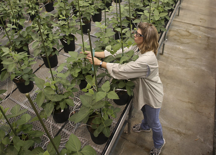 Nancy Brumley, Monsanto Soybean Plant Specialist, ties up a stalk of soybean in the soybean greenhouse at the Monsanto Research facility in Chesterfield, Missouri October 9, 2009. (Reuters)