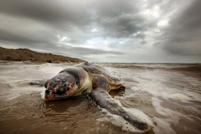 A dead sea turtle is seen washed onto shore April 14, 2011 in Waveland, Mississippi. There have been 67 reported sea turtle deaths in Mississippi through April 11 and many believe the BP spill is to blame. (AFP Photo / Mario Tama)