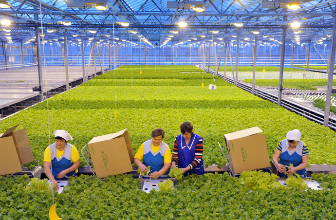 Employees of the agricultural complex harvesting lettuce. (RIA Novosti)