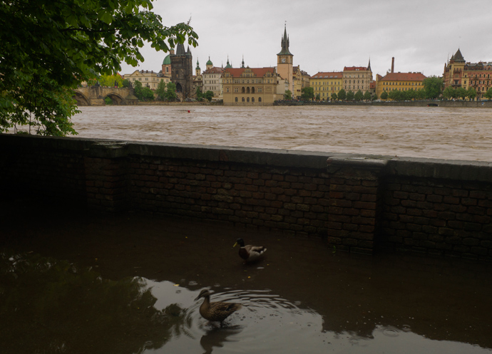 Ducks stand in water on the left bank of the flooded Vltava river on June 2, 2013 in Prague (AFP Photo / Michael Cizek)