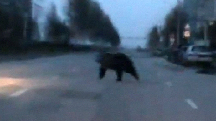 Wild chase: Bear walks into Russian kindergarten, shooed away by police (VIDEO)