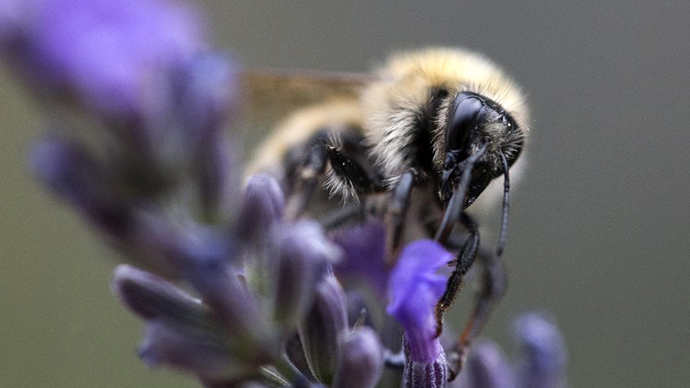 'Beemageddon' delayed: Bumblebee reemergence puzzles scientists