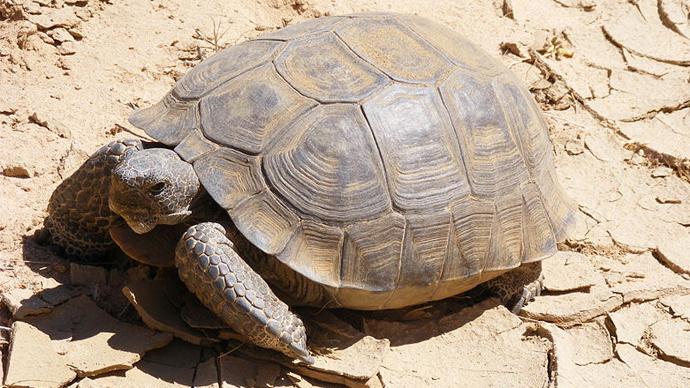 Desert tortoise (Image from wiki.org)