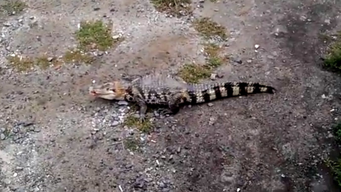 Crocodile let loose in large Russian city (VIDEO)