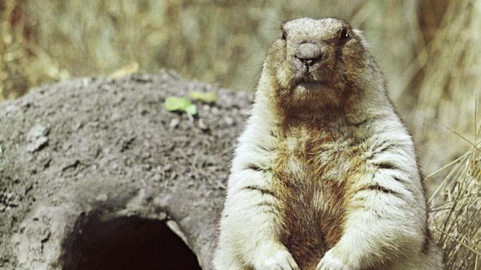 A marmot near its hole (RIA Novosti/V. Bokhonov)