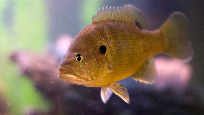The green sunfish (Image from flickr.com user@meowmixx1980)