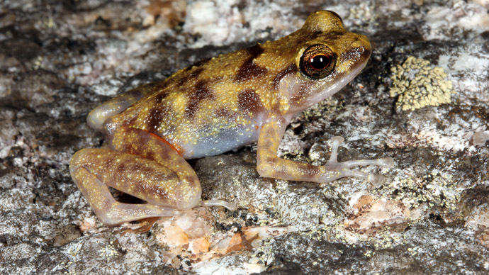 An undated handout photo taken by Conrad Hoskin of James Cook University Queensland and released on October 28, 2013 shows a boulder-dwelling frog on a rock on the rugged Cape Melville mountain range, northeastern Australia's Cape York Peninsula. (AFP Photo/JCUQ)