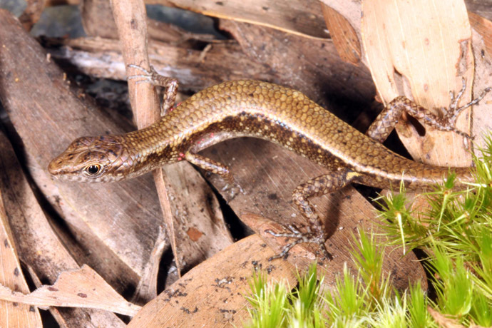 An undated handout photo taken by Conrad Hoskin of James Cook University Queensland and released on October 28, 2013 shows a new shade skink in the rugged Cape Melville mountain range, northeastern Australia's Cape York Peninsula. (AFP Photo/JCUQ)