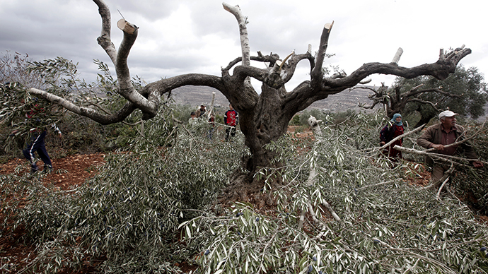 IDF keeps secret record of Palestinian olive groves attacks
