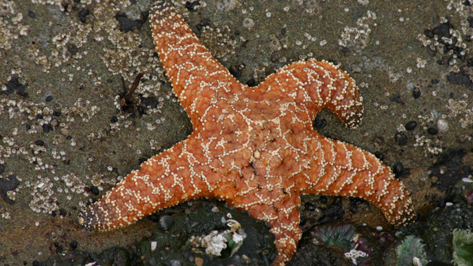Star wasting syndrome: Deadly disease kills myriad starfish across US west coast