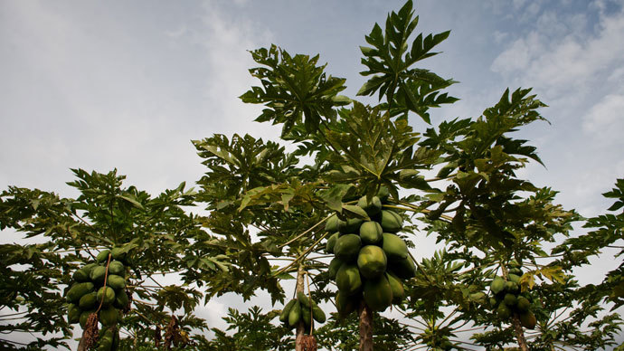 Hawaii's Big Island bans biotech companies, GMO crops