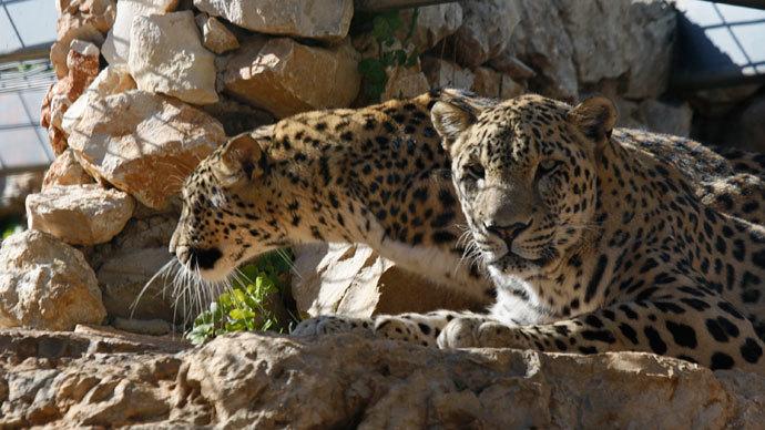 Persian leopard.(Reuters / Baz Ratner)