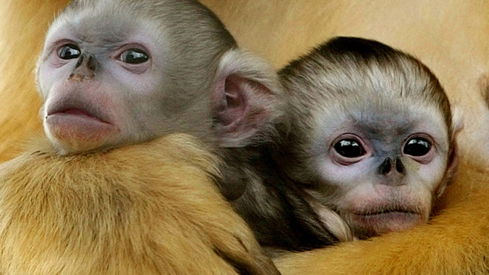 ​First custom monkeys created through precision genetic manipulation