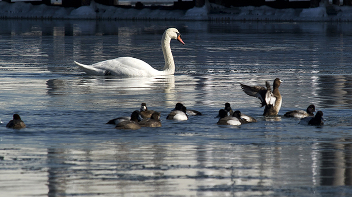 Swanocide? New York mulls cull of 'invasive' swans