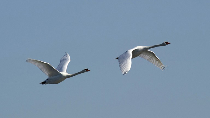 A pair of Mute Swans in flight near City Island January 30, 2014 in New York. (AFP Photo / Don Emmert)