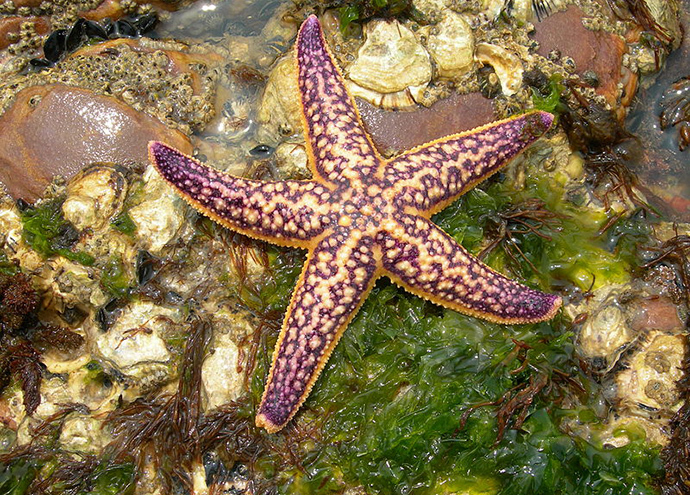 Northern Pacific seastar (Image from wikipedia.org)