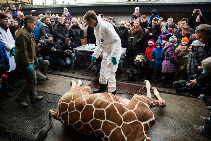 People look on as a veterinarian prepares to dismember the giraffe Marius after it was killed in Copenhagen Zoo February 9, 2014.(Reuters / Kasper Palsnov)