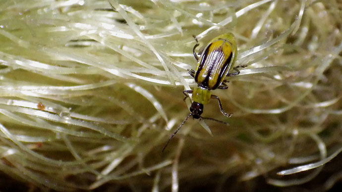 American pests develop resistance to 'deadly' toxins in GM maize – research