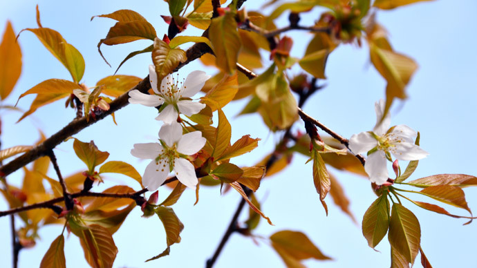 Cosmic bloom? Early blossom for cherry tree after space trip
