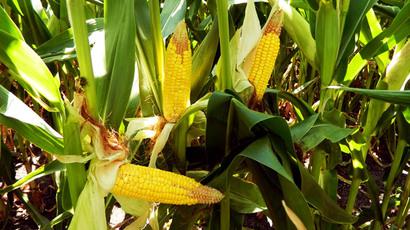 Monsanto-killer or 'Trojan Horse'? New law lets EU states ban GM crops