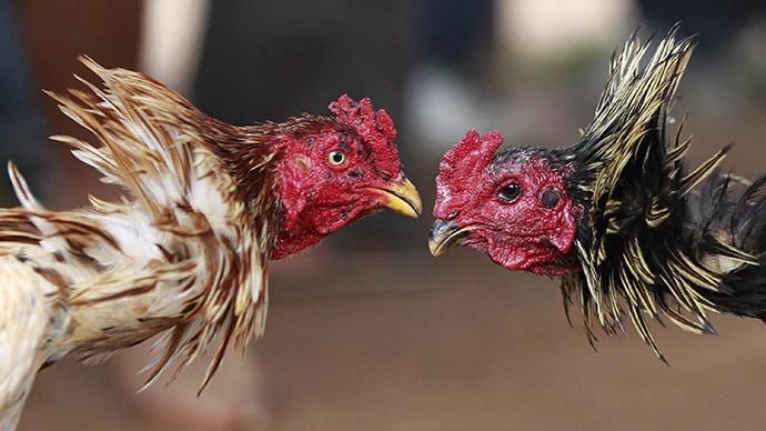 Washington state euthanizes 300 cockfighting birds
