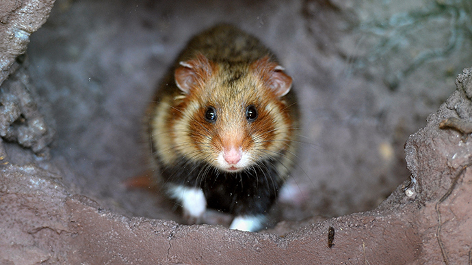 France dishes out 3 mln euro to save 'Great Hamster of Alsace'