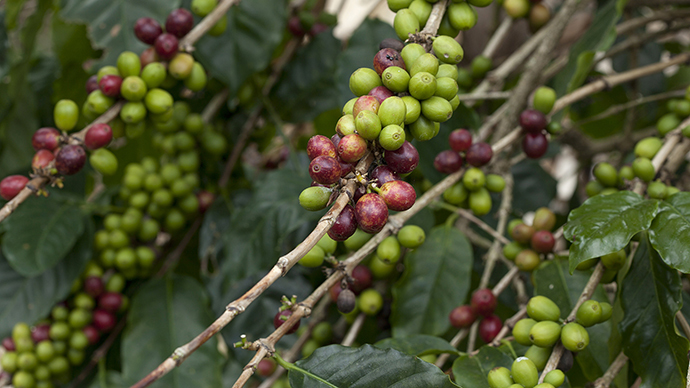 Coffee prices skyrocket as fungus kills high-end beans