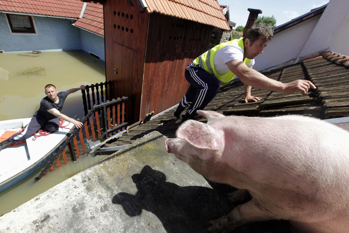 A man climbs on the roof of a house to feed pigs they rescued during heavy floods in the village of Vojskova, May 19, 2014. (Reuters/Srdjan Zivulovic)