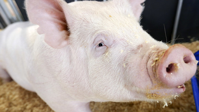 Genetically modified pigs survive human stem cells transplantation