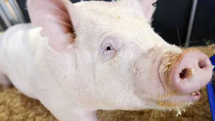 Genetically modified pigs survive human stem cells transplantation