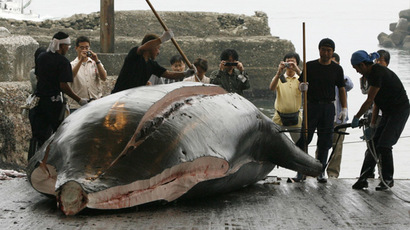 Whales butchered in bloody seas: Faroe islanders say it's tradition, others protest