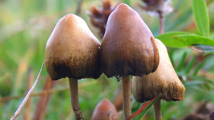 Psilocybe semilanceata (Image from wikipedia.org)