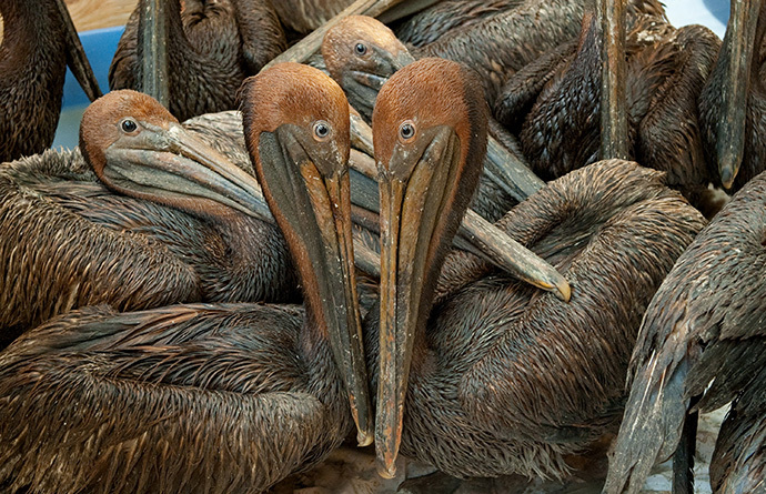 Oil covered brown pelicans found off the Louisiana coast and affected by the BP Deepwater Horizon oil spill in the Gulf of Mexico wait in a holding pen for cleaning at the Fort Jackson Oiled Wildlife Rehabilitation Center in Buras, Louisiana, June 9, 2010. (AFP Photo / Saul Loeb)