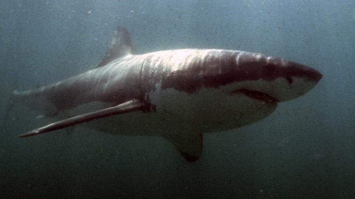 Great white shark attacks California swimmer (VIDEO)