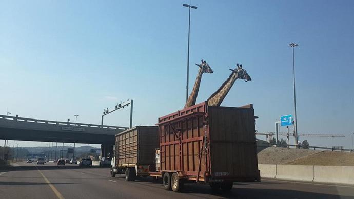 Giraffe dies after smashing head on low highway bridge