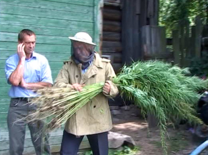 Screenshot from Russian police video - Cannabis plants being taken away after more than 500 weeds were discovered not far from Kostroma, which is around 350 kilometers north east of Moscow. August 5, 2014