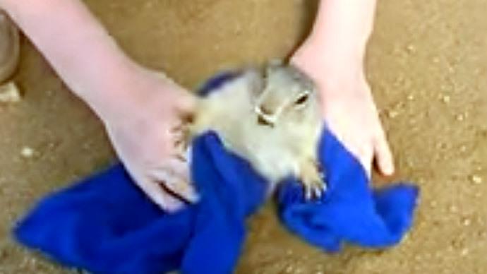 Siberian Groundhog Day: Ground squirrel stuck in own burrow on Baikal island (VIDEO)