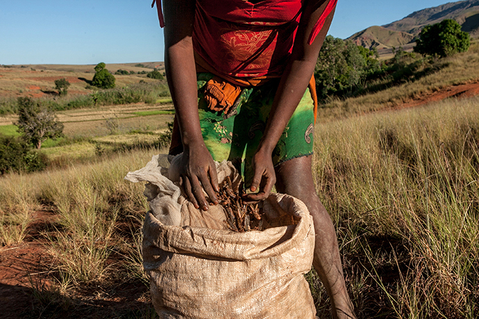 A farmer from Amparihibe village shows a bag full of locust which will be used to feed pigs, on May 7, 2014 in Tsiroanomandidy, western Madagascar (AFP Photo / Rijasolo)