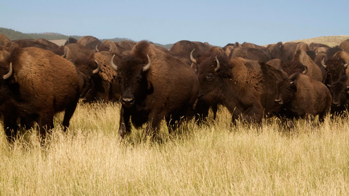​Yellowstone National Park to kill up to 900 bison this winter