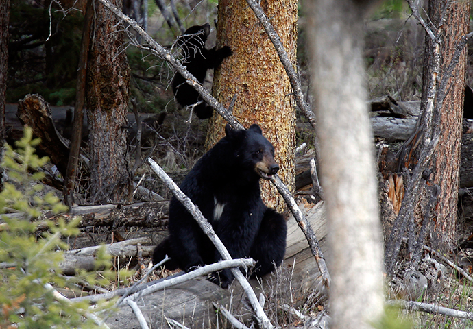 A female black bear and a cub are pictured in Yellowstone National Park in Wyoming (Reuters / Jim Urquhart)