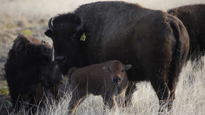 Buffalo Treaty: Native tribes sign bison revival plan in US and Canada