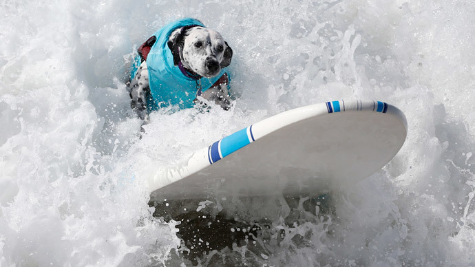 A dog surfs at the 6th Annual Surf City surf dog contest in Huntington Beach, California September 28, 2014.(Reuters / Lucy Nicholson)