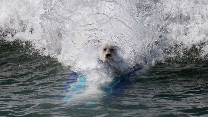 A dog wipes out at the 6th Annual Surf City surf dog contest in Huntington Beach, California September 28, 2014. (Reuters / Lucy Nicholson)